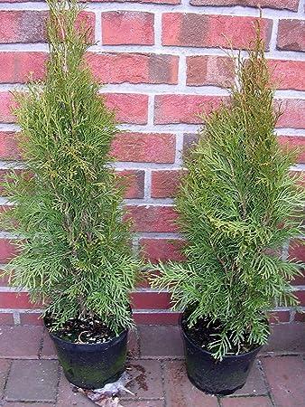 Thuja Smaragd ca im Topf gewachsen 70 bis 80 cm