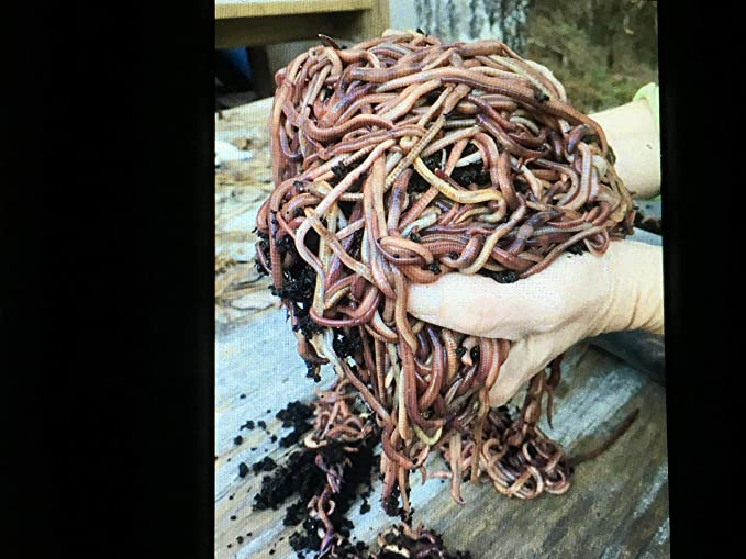 5 pounds Red Wiggler Composting Worms