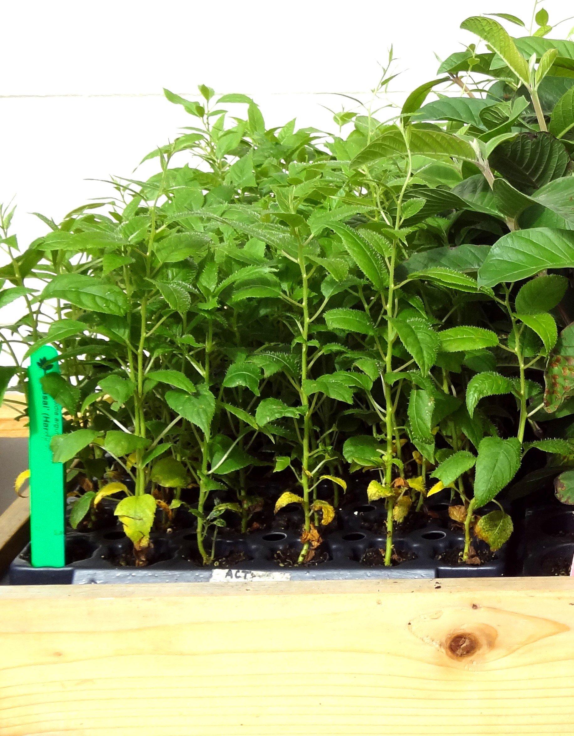 Kiwi Plants''Issai'' Includes Four (4) Plants