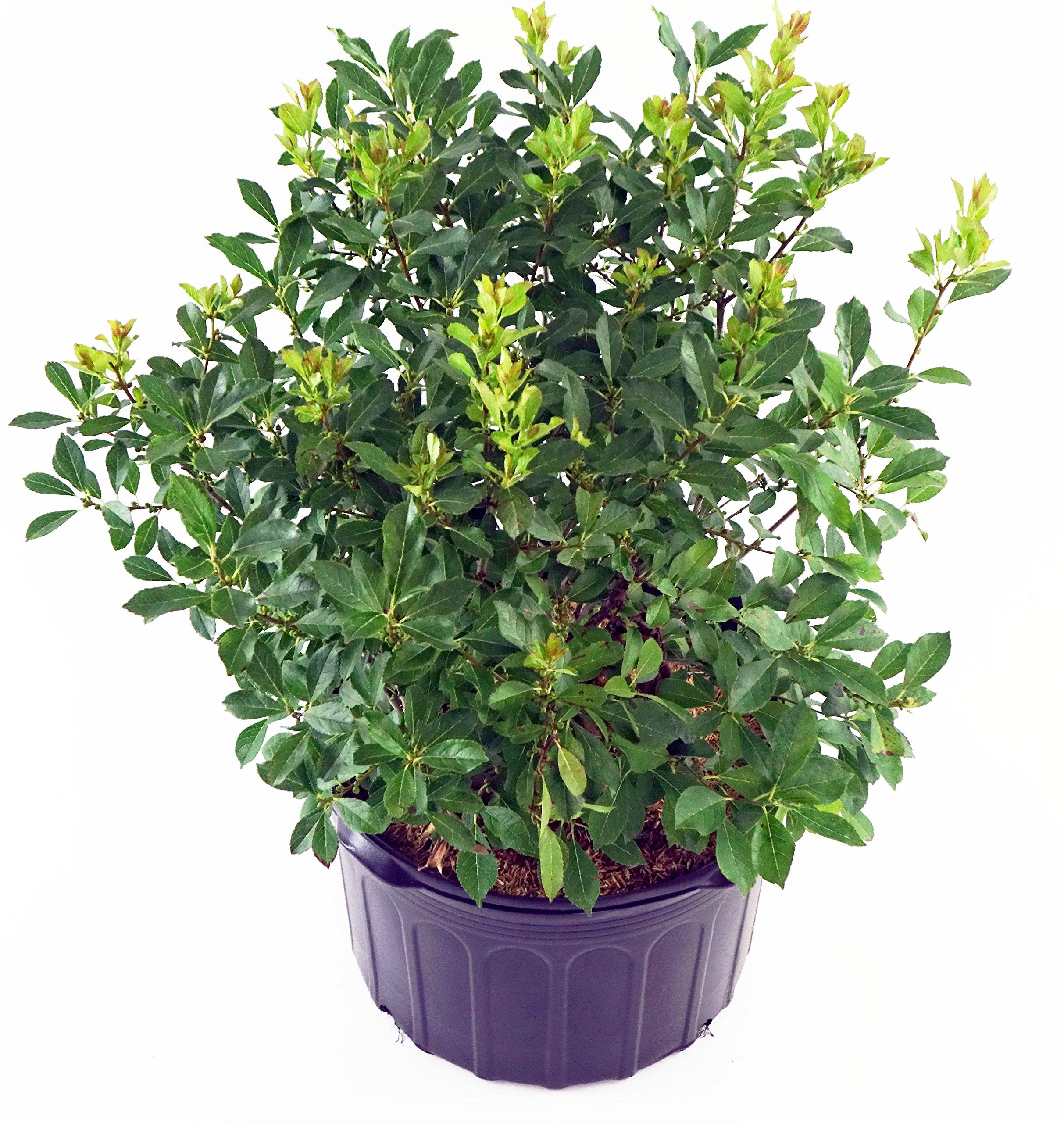 Ilex verticillata 'Red Sprite' (Winterberry) Shrub, XL red Fruit, 2 - Size Container