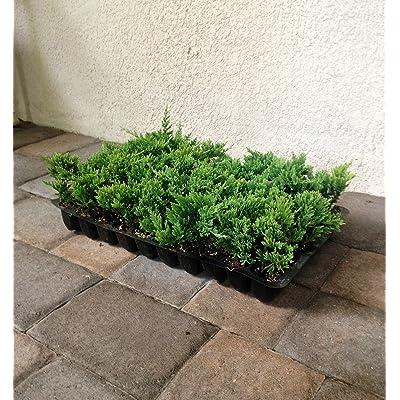 Blue Rug Juniper Qty 60 Live Plants Evergreen Ground Cover : Garden & Outdoor