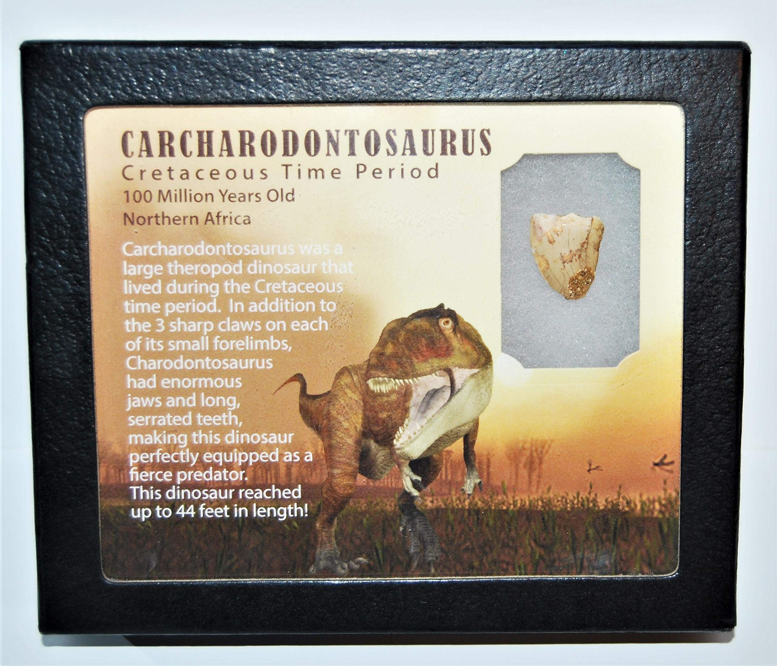 Carcharodontosaurus Dinosaur Tooth .753'' Fossil African T-Rex LDB #14098 15o
