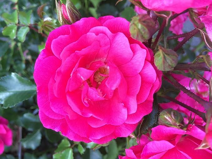 Bodendecker winterhart Bodendeckerrose Noatraum öfterblühend robust pink 4,5 L