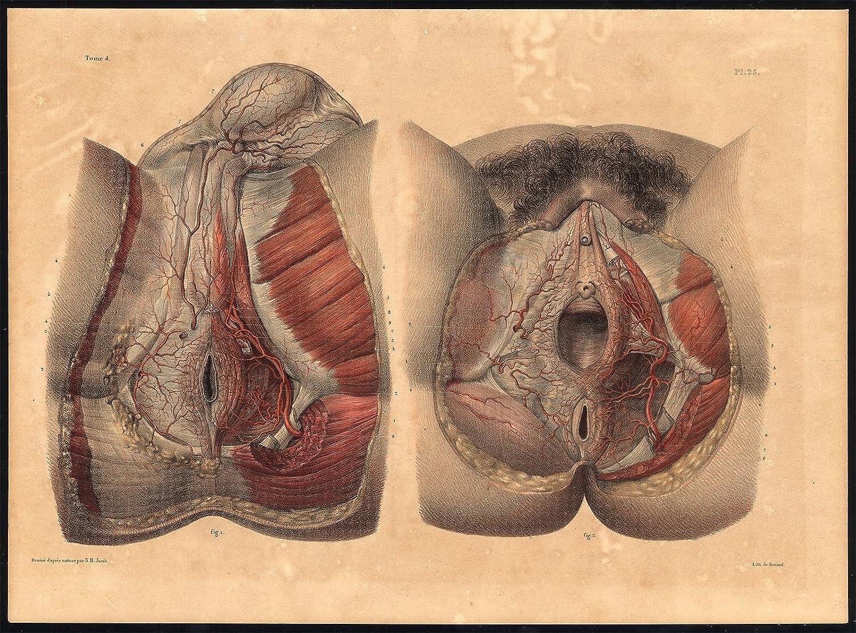 Amazon Original Anatomy Print Artery Perineum Male Female Pl