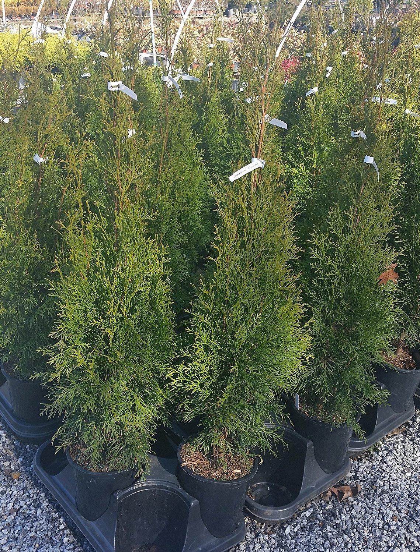 Emerald Green Arborvitae Tree (Thuja) - Live Plant - Trade Gallon Pot