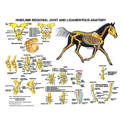 Equine Hindlimb Regional Joint Bone Anatomy Chart Horse: tbd: Industrial & Scientific