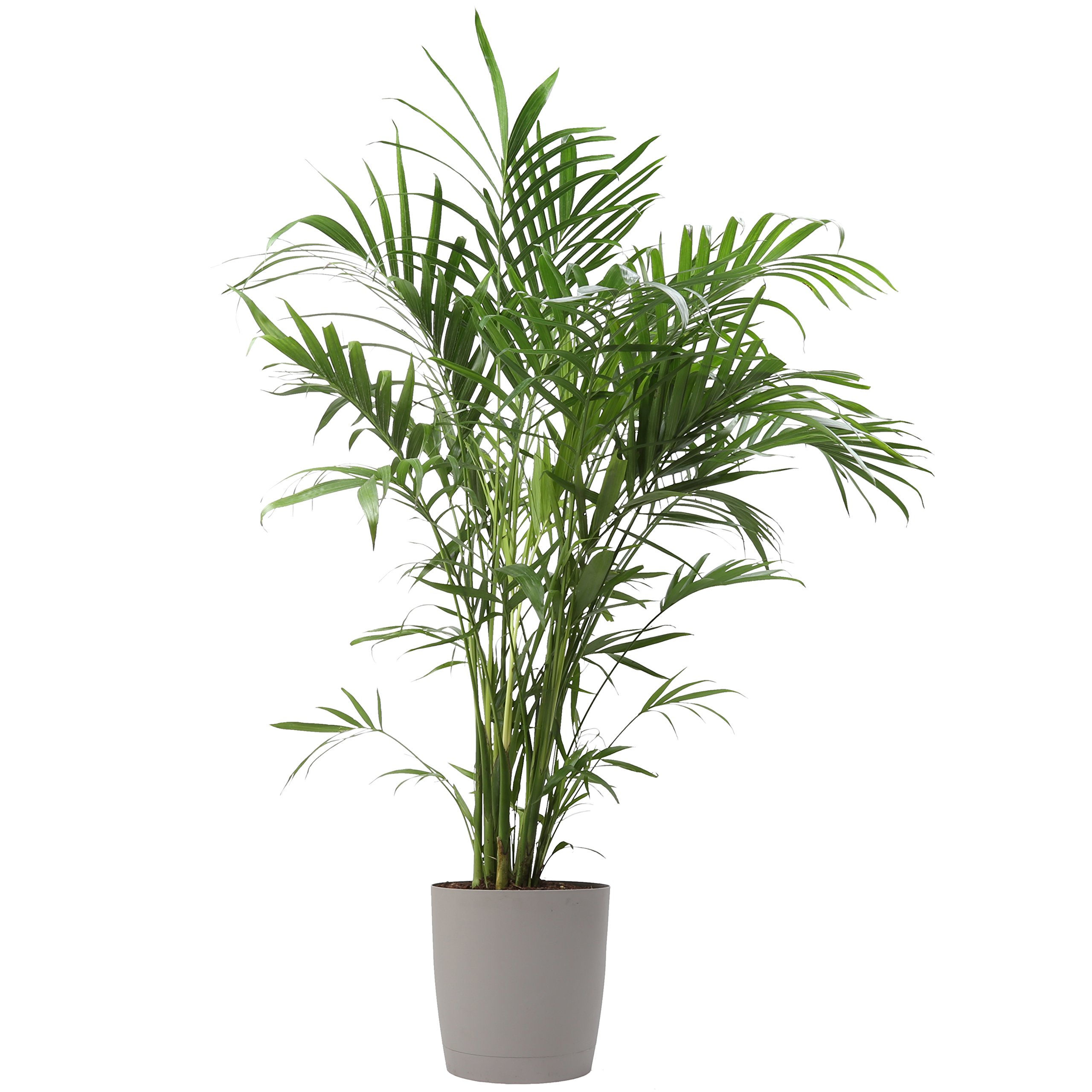 Costa Farms, Premium Live Indoor Cat Palm, Chamaedorea cataractarum, Floor Plant, Gray-Taupe Decorator Pot, Shipped Fresh from Our Farm, Excellent Gift