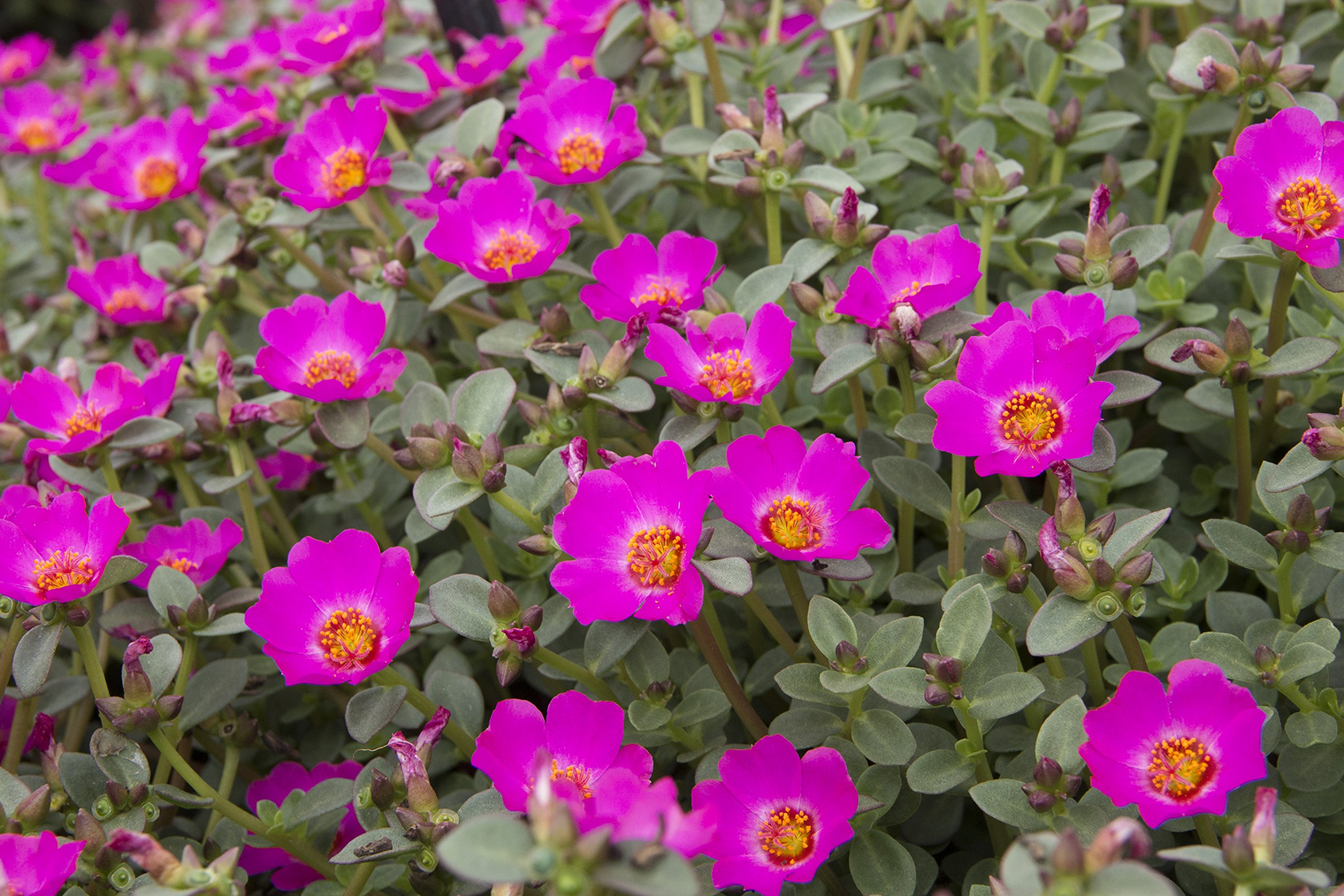 Costa Farms CO.1QTPURFFF.13.GP.PINPK12 Purslane Outdoor Flowering Plants, 12 Pack, Pink