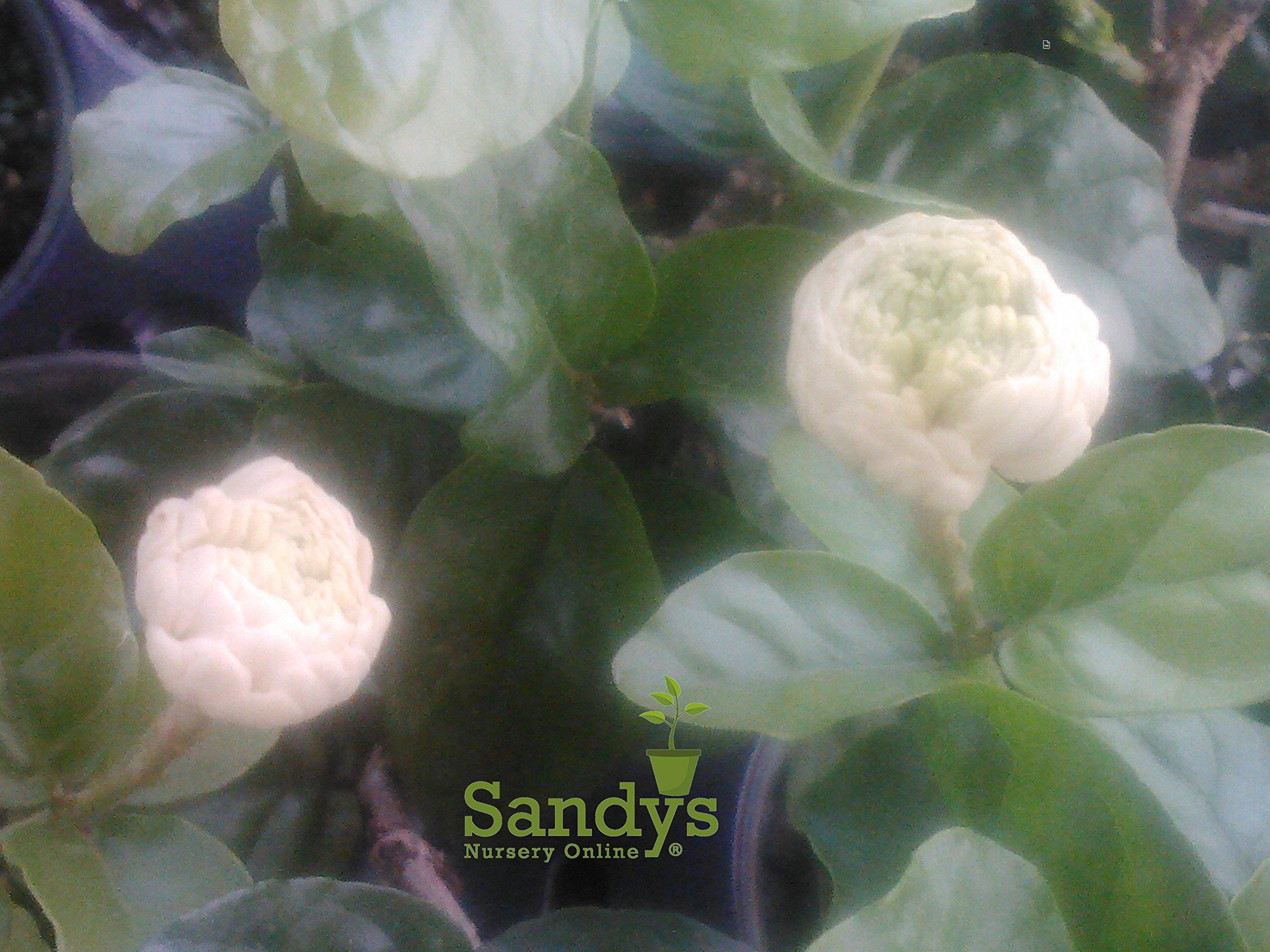 Sandys Nursery Online Jasmine Sambac Grand Duke of Tuscany Live Plant in 3.5'' Pot+ Fertilizer