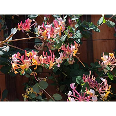 1 Plant of Serotina Belgica Honeysuckle Vine - Late Dutch - Lonicera Vine : Garden & Outdoor