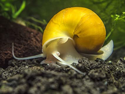 Yellow Algae Eater | Amazon Com 3 Golden Mystery Snails Algae Eaters Young Adult 1 2