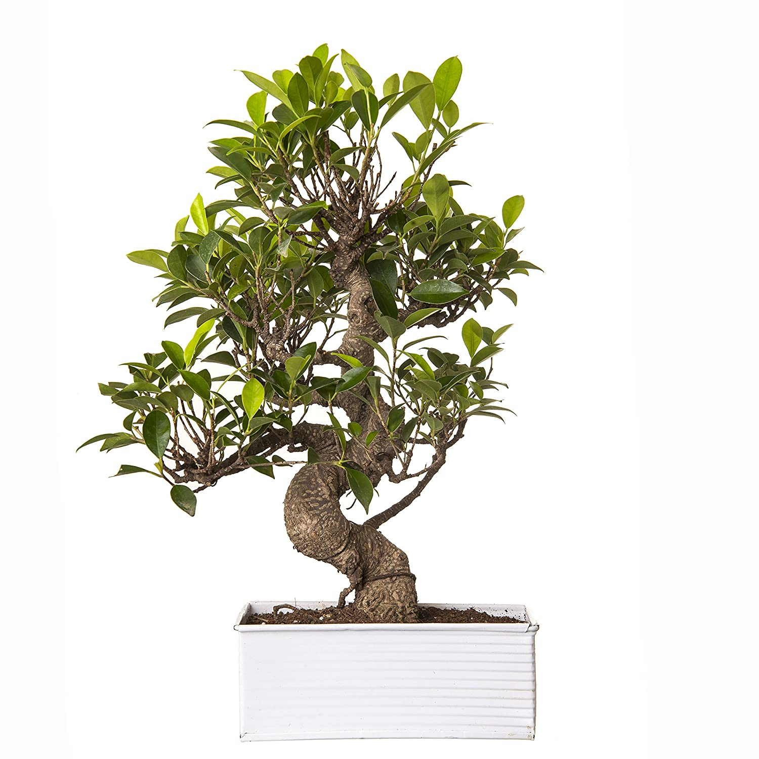 Exotic Green Indoor Plant 6 Year Old S Shape Ficus Bonsai In White Metal Pot Amazon In Garden Outdoors
