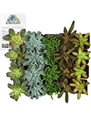 "Altman Plants Assorted Succulents Wedding Party Favors Dish Gardens Starter Kit 2"" 20 Pack"