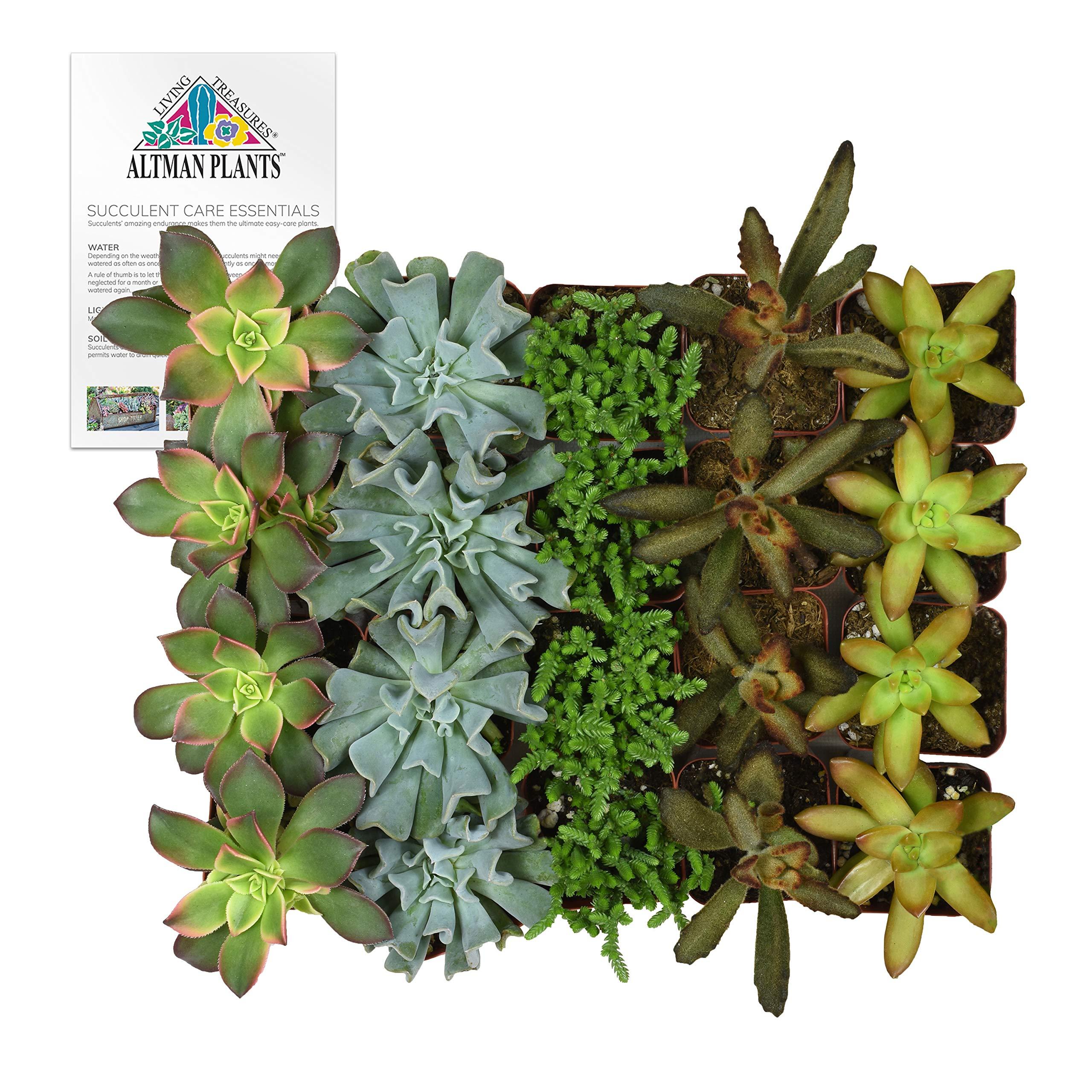 Altman Plants Mini Live Assorted Succulents Weddings, Party favors, DIY terrariums, Gifts 2'' 20 Pack by Altman Plants (Image #1)