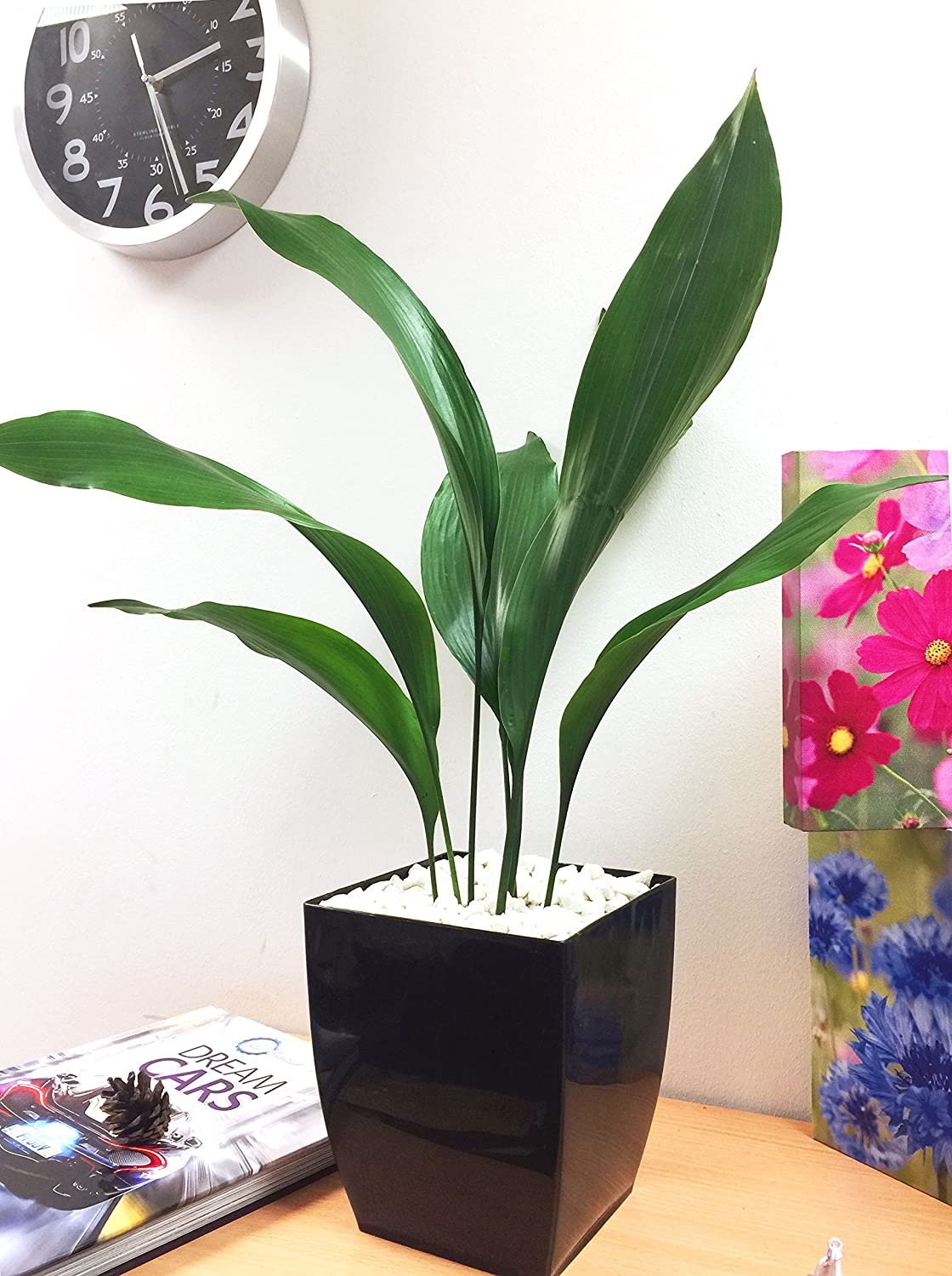 Easy Plants® Cast Iron Plant Common Aspidistra Table Plant @ Gloss Black Milano Square Pot