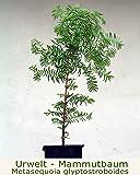 Seedeo Urwelt-Mammutbaum (Metasequoia glyptostroboides) Pflanze 3 Jahre