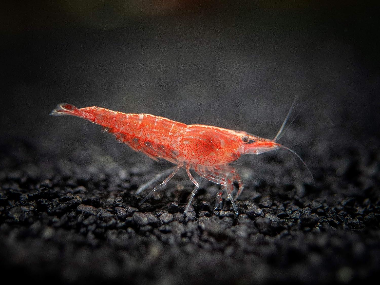 Amazon Com 5 Live Sakura Fire Red Cherry Shrimp Neocaridina Davidi Breeding Age Young Adults At 1 2 To 1 Inch Long Live Shrimp By Aquatic Arts Live Fish And Aquatic Pets Pet Supplies