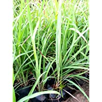 Live with Alive Herbal Lemon Grass for Home Garden Also Usable as Mosquito Repellent