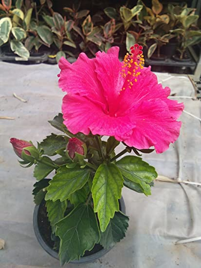 Cappl Sanjay Nursery Elegant Hibiscus Plant Pot Included With