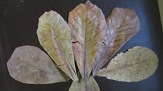 ??? 10 Gramm für 1€ Seemandelbaumblätter verschiedene Grössen ?Bestimmen Sie Ihre Gesamtmenge durch die Stückzahl im Warenkor