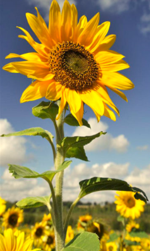 Hot Sunflower Wallpapers Appstore for