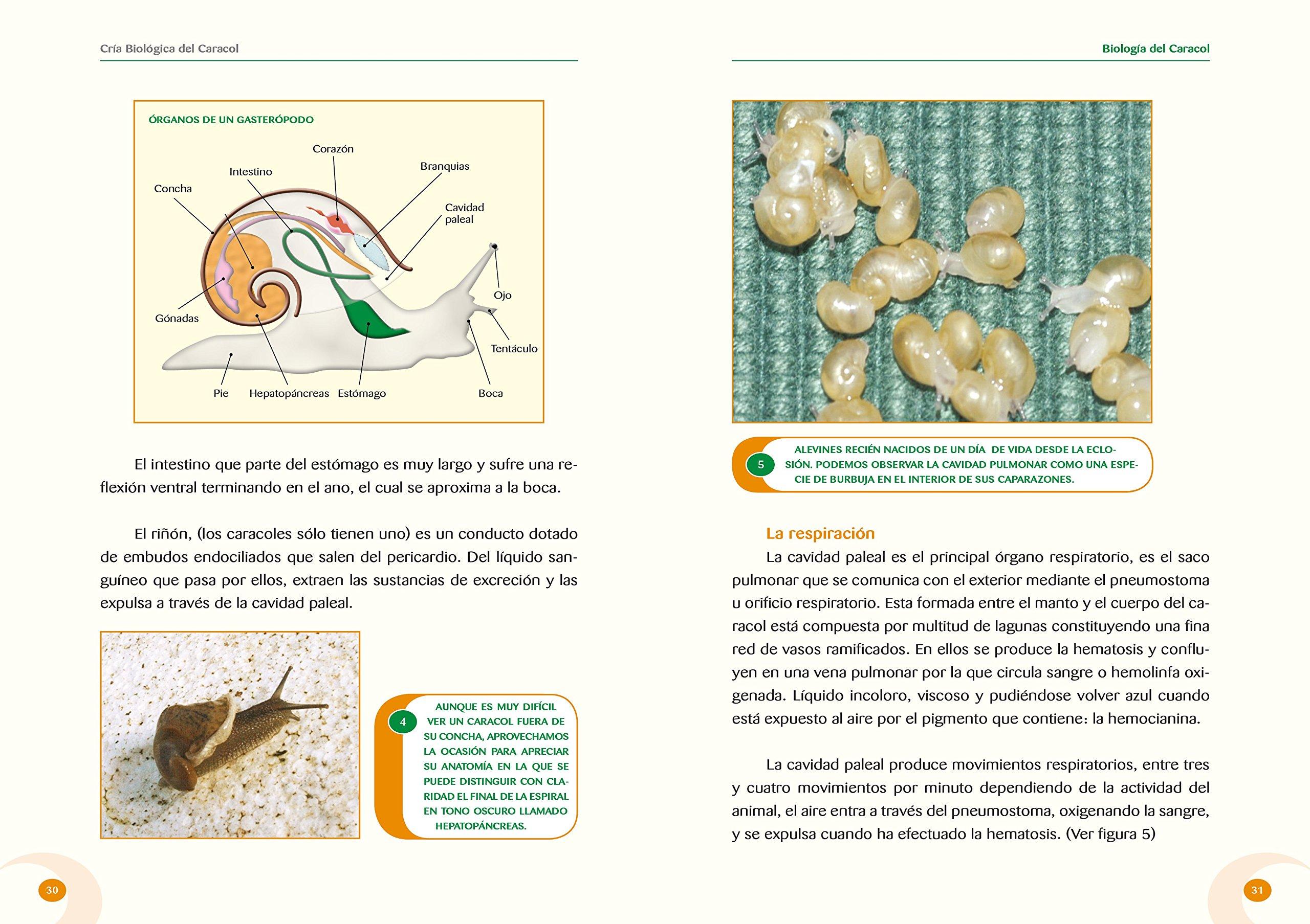 Cria biologica del caracol: Amazon.es: Isaac Mayordomo Exojo ...