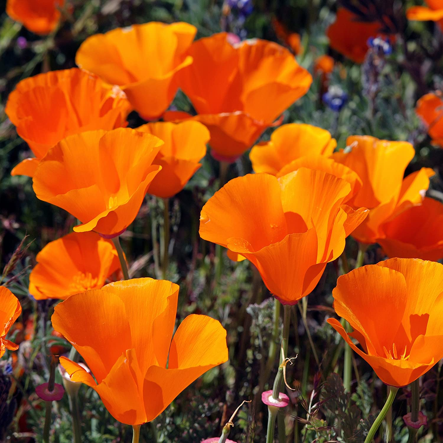 Amazon Com Outsidepride California Poppy Wildflower Seed 1 Lb