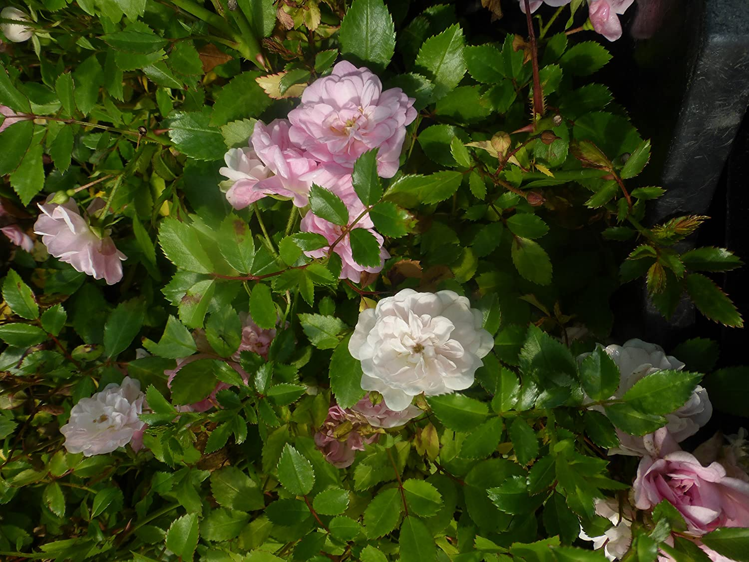 Bodendeckerrose Rose The Fairy pink 60 St.