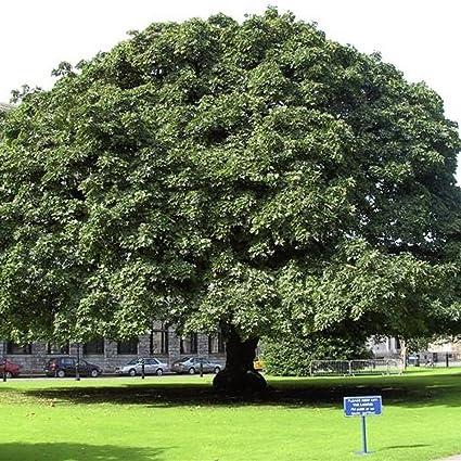 Amazoncom Bigleaf Maple Acer Macrophyllum 60 Seeds Garden Outdoor