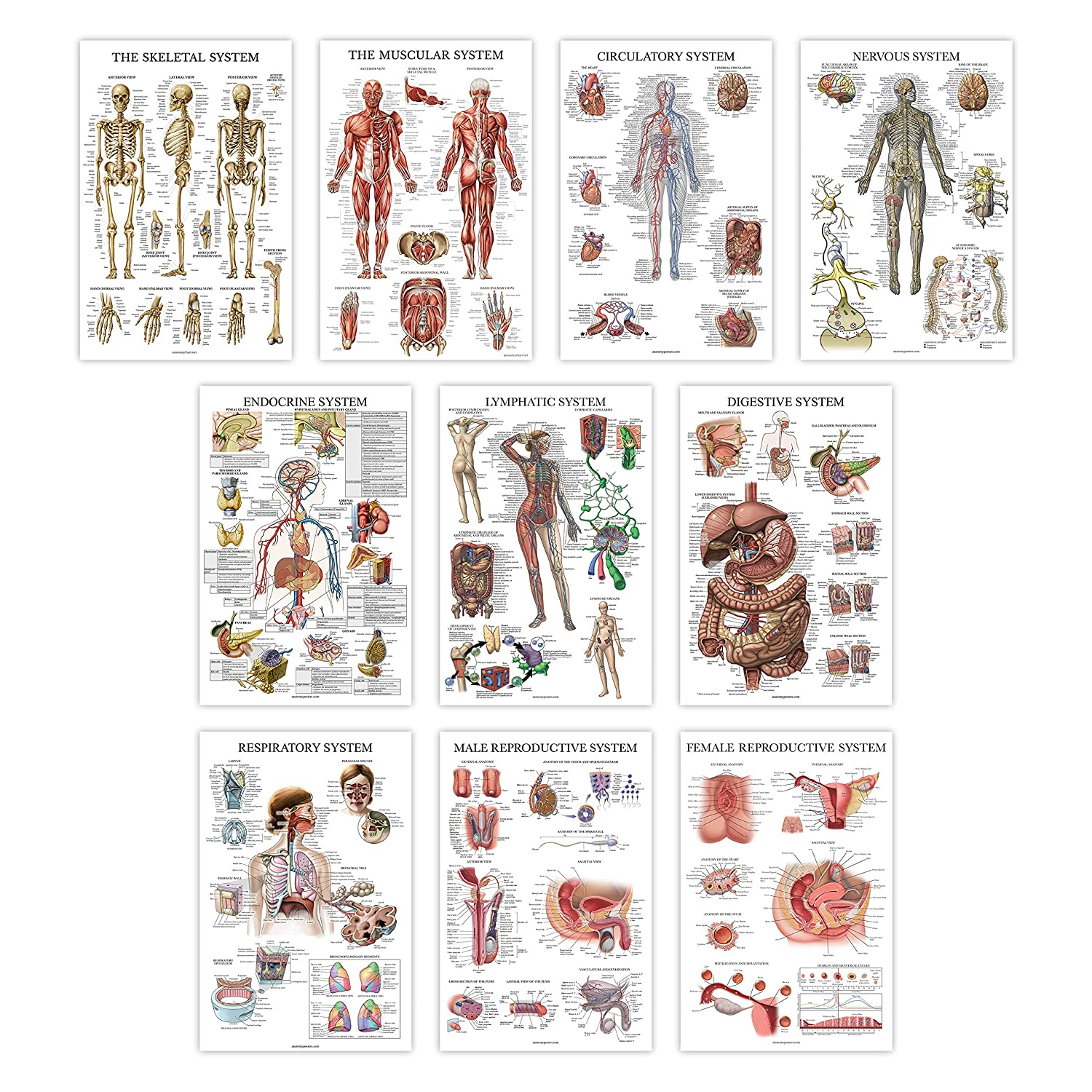 """10 Pack - Anatomy Posters - Paper (Not Laminated) - Muscular, Skeletal, Digestive, Respiratory, Circulatory, Endocrine, Lymphatic, Male & Female Reproductive, Nervous System, Anatomical Charts 18""""x27"""""""