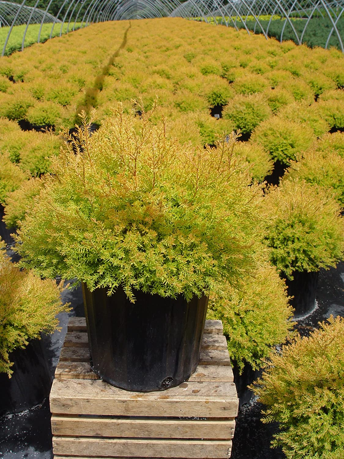 Size Container Evergreen #2 Thuja Mr Bowling Ball Arborvitae