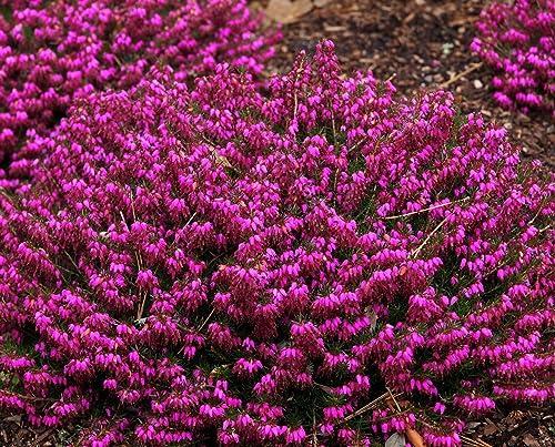 3 pack 9cm pots heather erica carnea myretoun ruby deep pink 3 pack 9cm pots heather erica carnea myretoun ruby deep pink flowers mightylinksfo