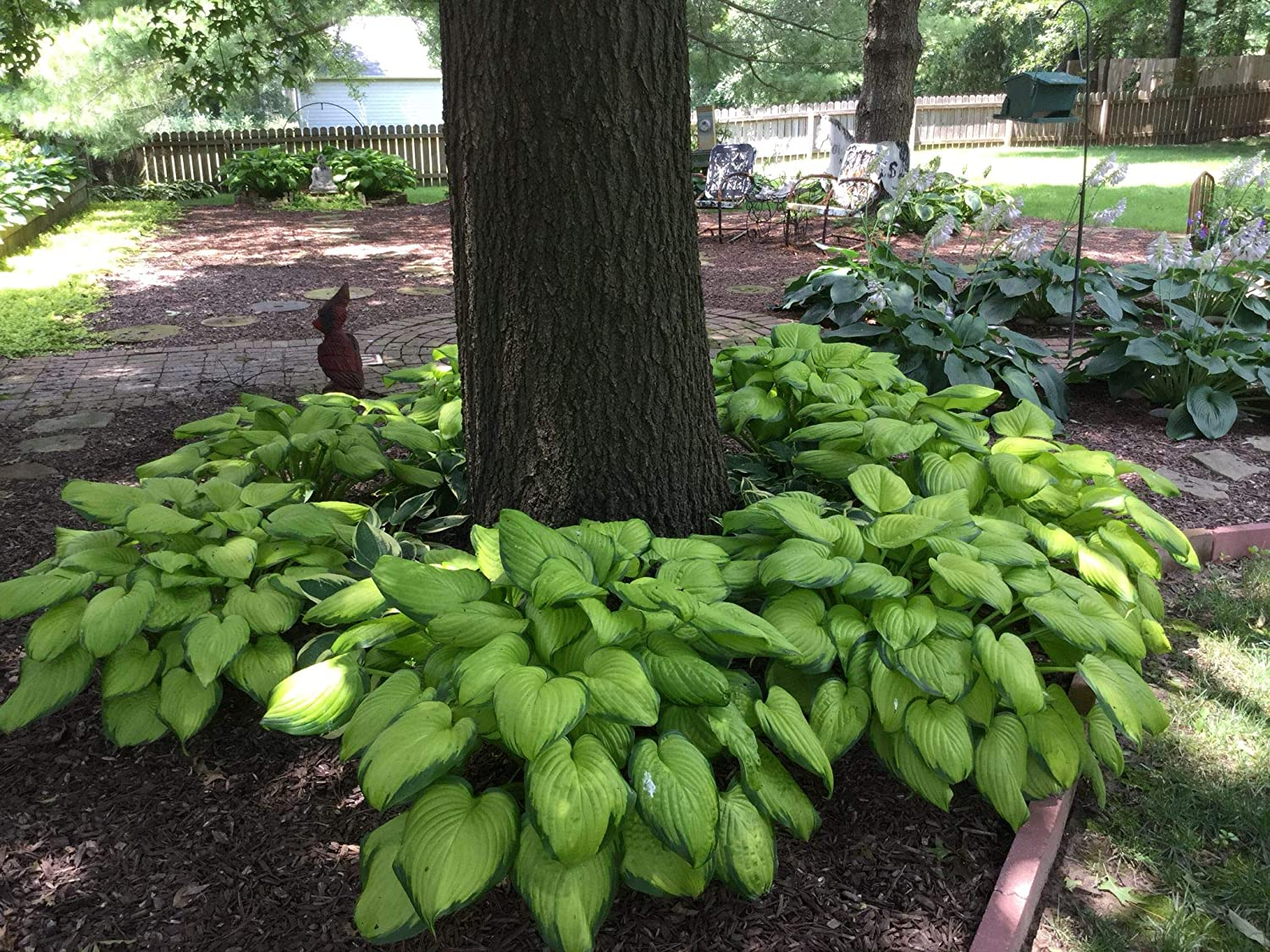Stained Glass Hosta Live Plants | Prominent Veins Throughout The Leaf give This hosta a Stained Glass Window Effect, 1 Gallon