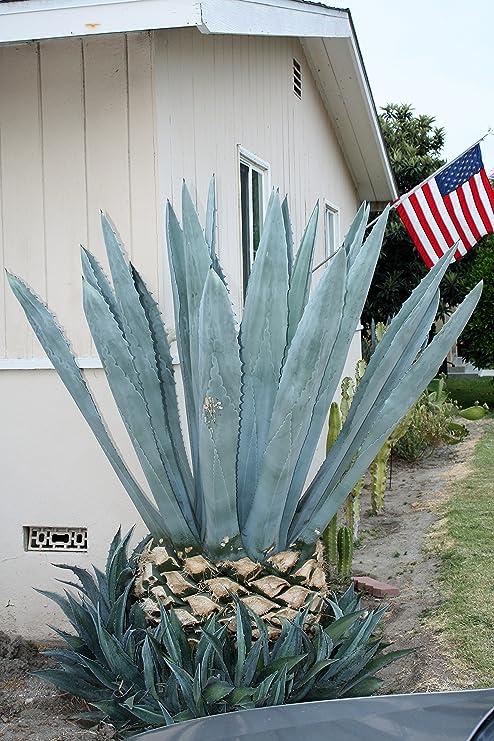 Amazon Com Agave Americana Blue Century Plant Large Live