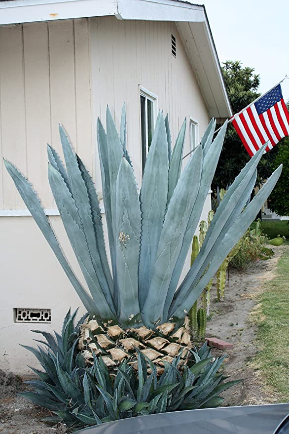Amazon Com Blue Agave Americana Cactus Plant 7 10 Inches Maguey Garden Outdoor