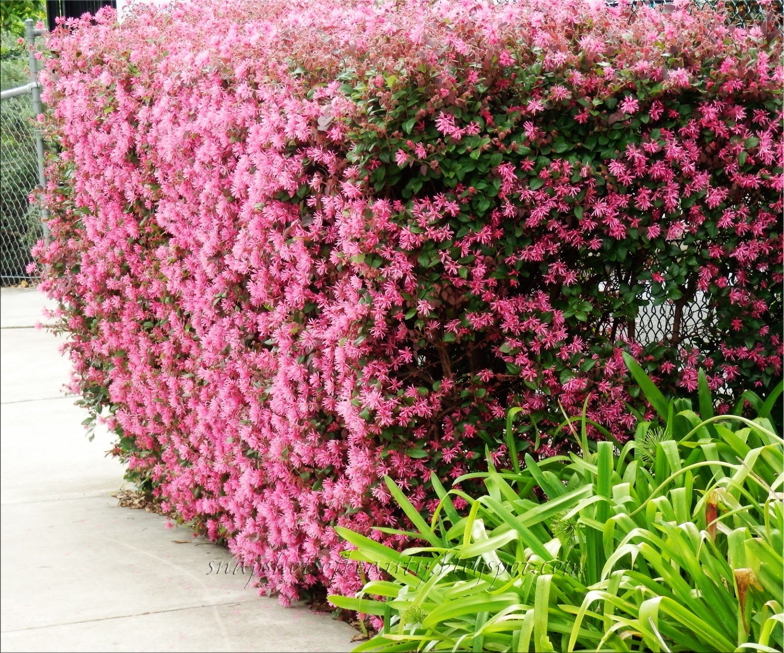 Loropetalum Chinese Fringe Flower Plum Delight Qty 40 Live Flowering Plants by Florida Foliage