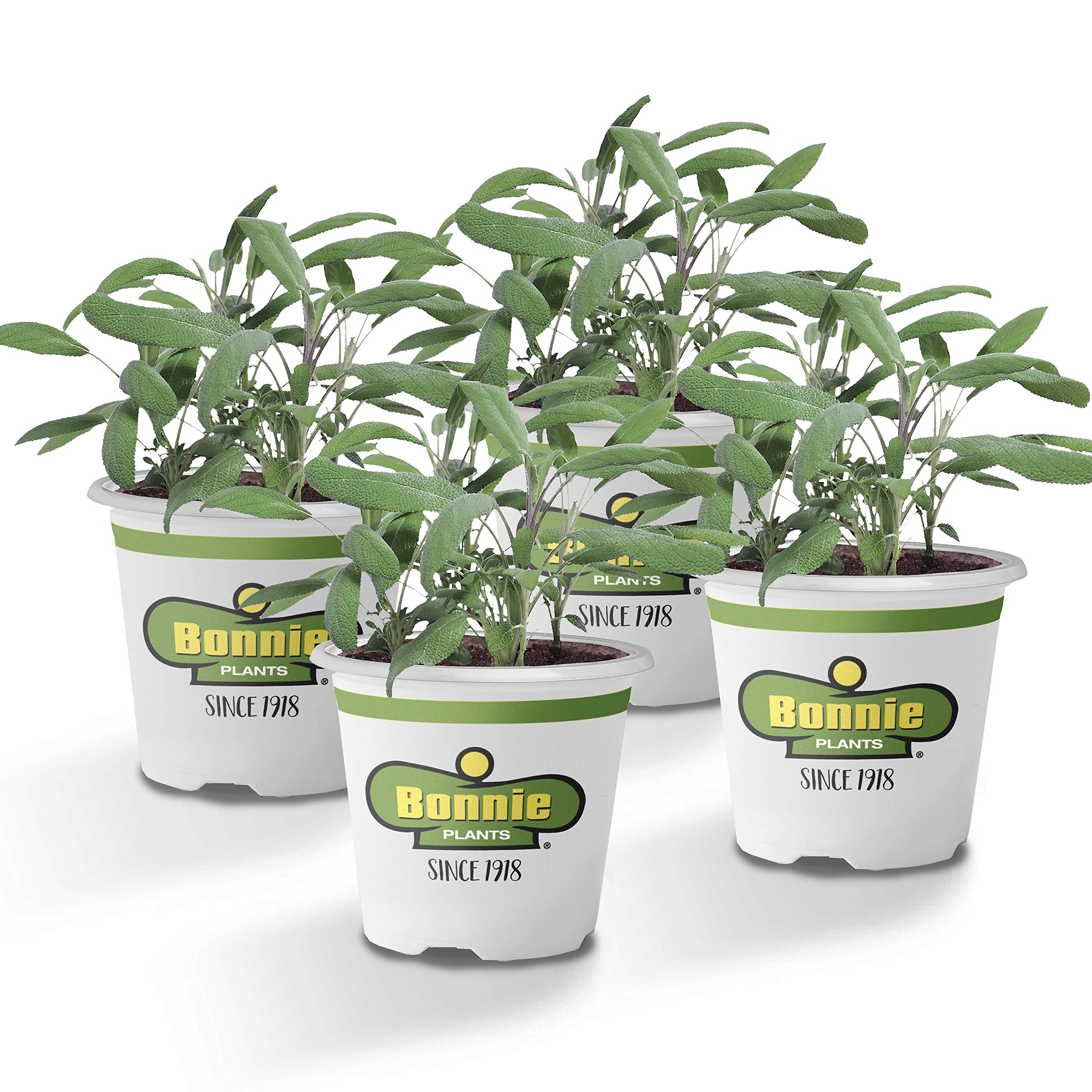 Bonnie Plants Garden Sage Live Herb Plants - 4 Pack, Easy to Grow, Non-Gmo, Perennial in Zones 5 To 8, Key Ingredient of Poultry Seasoning & Turkey Stuffing by Bonnie Plants