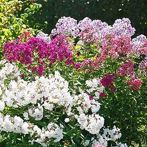 Phlox - New Hybrids Flower Seed Mix - 100 Seeds - Perennial Flower Gardening - AAS Award Winner - Bicolor Blooms - Garden Flowers