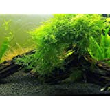 Java Moss - Live Aquarium Plant by Aquatic Arts – Large 25 Square inch Portion