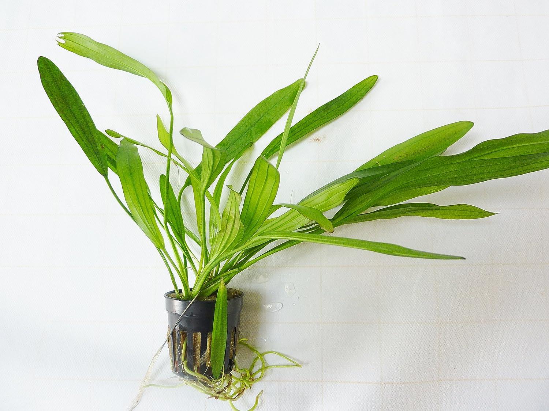 Aquarium Plant Echinodorus arbertine, Live Plant for your Aquarium Fish Around FALPLA