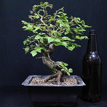 Carpe coreano, Carpinus coreana, bonsái para exterior, 18 años, altura 23 cm