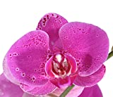 Costa Farms Live Phalaenopsis Orchid, 27-Inch Tall, Double Stem Pink-Purple Blooms, in 5-Inch Décor-Ready White Color Ceramic, Great Gift