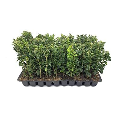 Green Mountain Boxwood - 20 Live Plants - Buxus - Fast Growing Cold Hardy Formal Evergreen Shrub : Garden & Outdoor