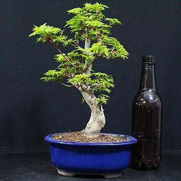 Japanese Maple Acer Palmatum Shishigashira Outdoor Bonsai 22