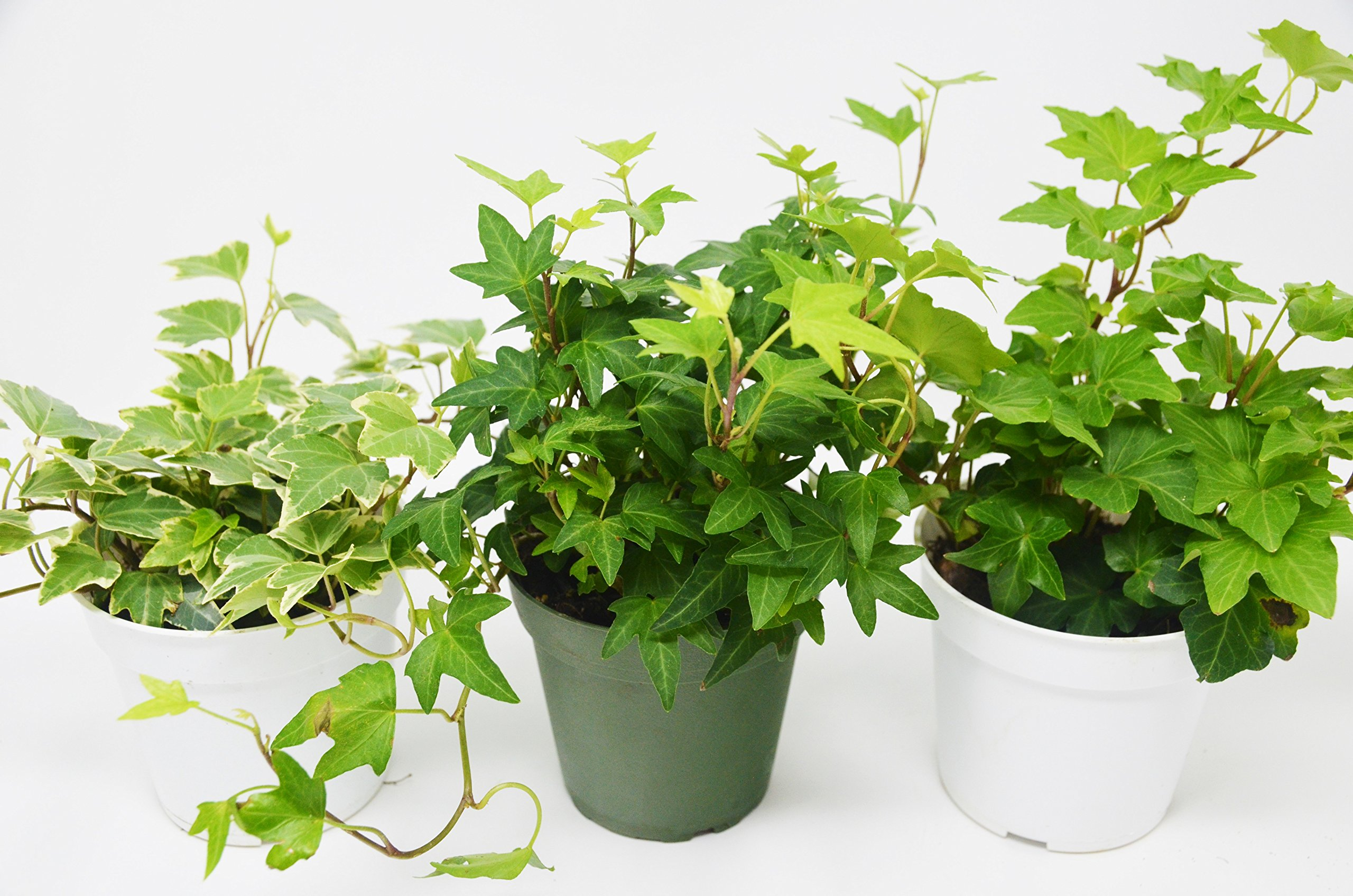 3 Different English Ivy plants- Live House Plant - FREE Care Guide - 4'' Pot - Ground Cover - by House Plant Shop