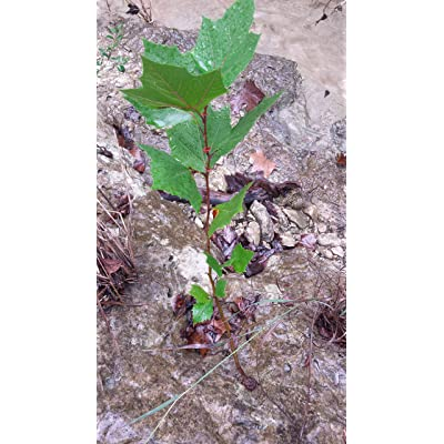 Sycamore Tree - 2 Year Old : Garden & Outdoor