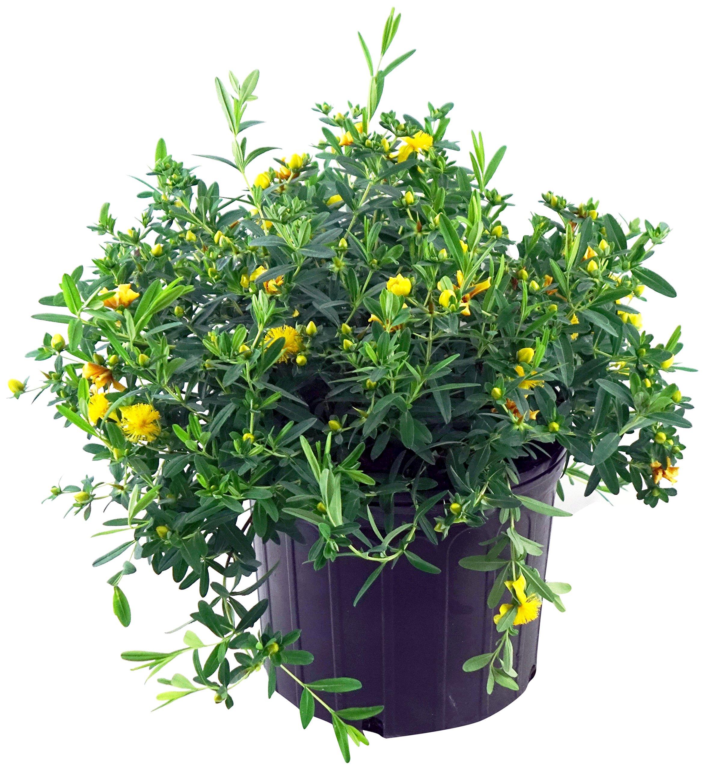 Hypericum frondosum 'Sunburst' (St. Johns Wort) Shrub, yellow flowers, #3 - Size Container