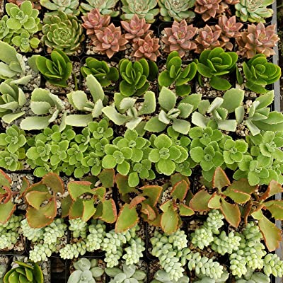 2 inch Assorted Succulents 30 Pack Cactus Cacti Succulent Real Live Plant : Garden & Outdoor
