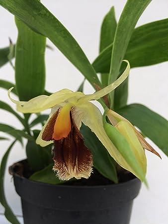 Coelogyne cristata 1 blühfähige Orchidee der Sorte 14cm Topf