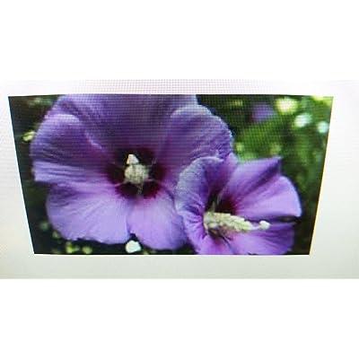 (2 Gallon) Minerva Rose of Sharon, Minerva Althea (Rose of Sharon) Single Lavender Bloom with Dark RED Eye, Attractive, Dark Green Foliage. Attractive Shrub : Garden & Outdoor